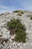 Hypericum balearicum, Col Reis 600m, Endemic to the Balearic Islands