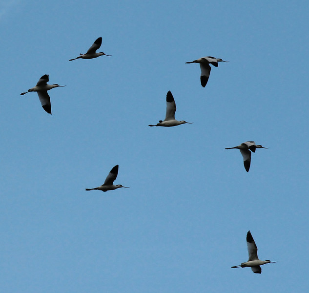Recurvirostra avosetta, (NL: Kluut), Salobrar de Campo (MA6040)