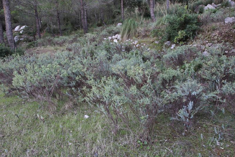 Euphorbia pithyusa, Puig de Galatzo 1026m