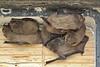 Pipistrellus pipistrellus in bathouse (Pipistrelle bat in English, dwergvleermuis in Dutch), Parque natural de s'Albufera de Mallorca