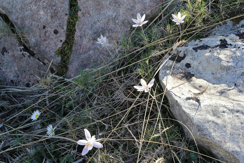 Crocus cambessedesii, Puig de Galatzo 1026m