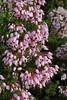 Erica multiflora, Masanella 1365m - GR 221 - Prat de Cúber 650m