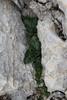 Pastinaca lucida, Mallorca pastinak, endemic, Masanella 1365m