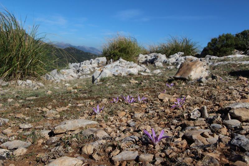 Colchicum filifolia, Puig de Galatzo 1026m