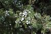 Juniperus oxycedrus ssp. macrocarpa, Parque Natural de s'Albufera de Mallorca