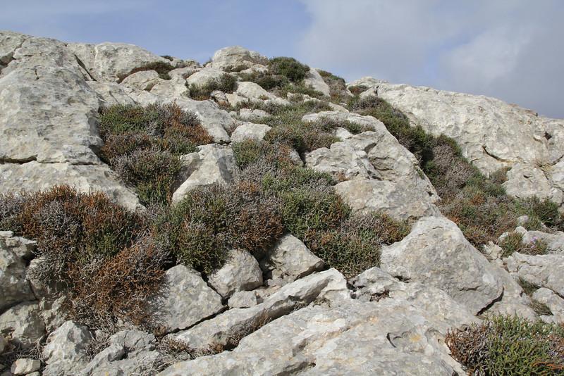 Smilax aspera var. balearica,  Masanella 1365m