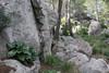 Arum pictum, near viewpoint, E of junction to Cala de sa Calobra, ca 600m