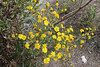 Ditrichia viscosa, Song Gual, ca 100m