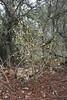 Solanum linnaeanum, syn. Solanum sodomeum (Parque Natural Mondragó)