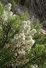 Thymelaea velutina, Masanella 1365m - GR 221 - Prat de Cúber 650m