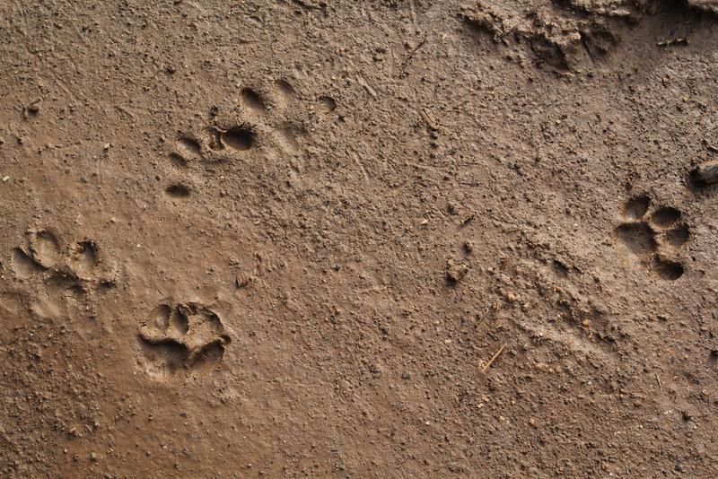 Footprint of domestic cat?, Salobrar de Campo (MA6040)
