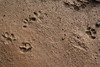 Footprint of domestic cat?, Salobrar de Campo (MA6040)