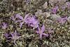 Colchicum filifolium (syn. Merendera filifolia), Song Gual ca 100m near MA15