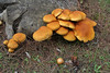 Pholiota adiposa ? (NL: Slijmsteel bundelzwam)near viewpoint, E of junction to Cala de sa Calobra, ca 600m