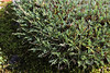 Astragalus balearicus, endemic, Prat de Cúber 650m - GR 221 - Masanella 1365m