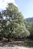 Quercus ilex, Prat de Cúber 650m - GR 221 - Masanella 1365m