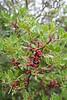 Pistachia lentiscus, North of Cap de ses Salines
