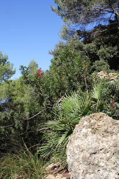 Chamaerops humilis, Boal de ses Serveres-GR 221-Puig de Galatzo 1026m
