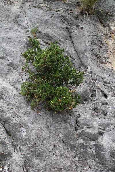 Buxus balearica, La Reserva Puig de Galatzo 600m