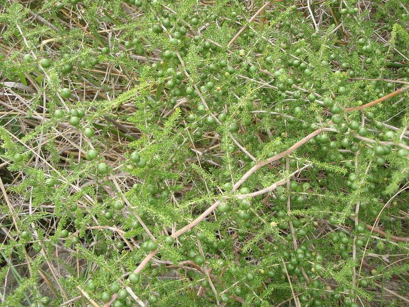 Asparagus acutifolius, North of Felanitx