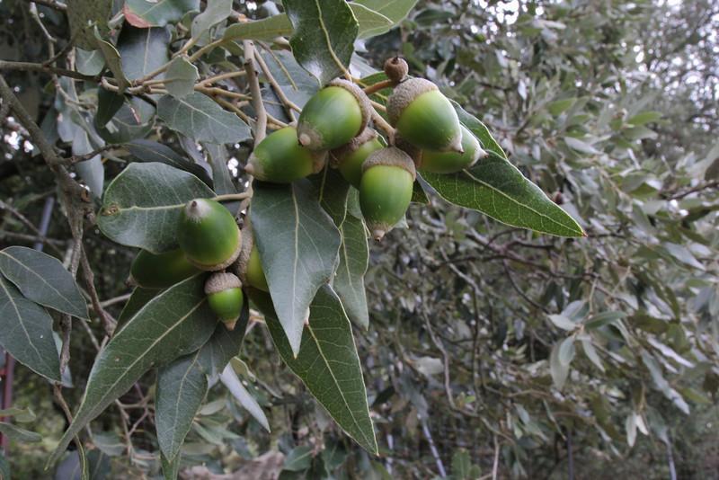 Quercus ilex, Recreation Area Memut 2, 500m E of Memut Binifaldo, Serra de Tramuntana, ca 1000m.