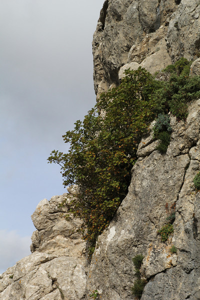 Acer granatense , endemic to Mallorca and a small area on the mainland of Spain. GR 221 - Masanella 1365m