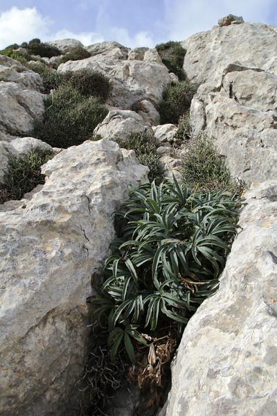 Helleborus foetidus var. balearicus,  Masanella 1365m