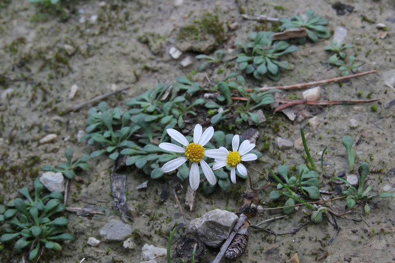 Bellium bellidioides, Masanella 1365m - GR 221 - Prat de Cúber 650m