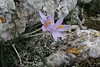 Crocus cambessedesii, Col Reis 600m, Endemic to the Balearic Inslands