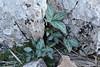 Helleborus lividus ssp. lividis, Endemic, Puig de Galatzo 1026m