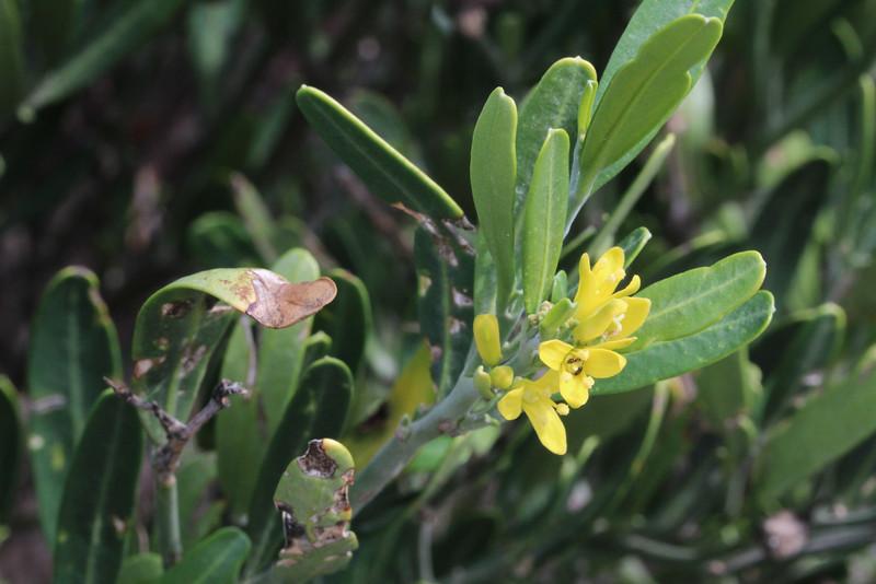 Cneorum tricoccon (Coll dels Reis, 682m)