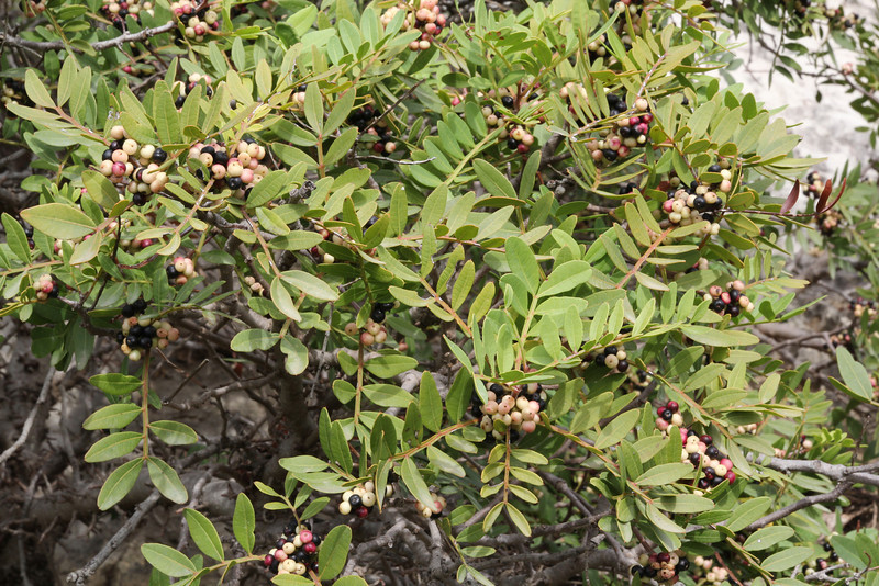 Pistachia lentiscus, Island, Parc Naturel de sa Dragonera, Liedó-des Liebeig