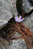 Crocus cambessedesii, Recreation Area Memut 2, 500m E of Memut Binifaldo, Serra de Tramuntana, ca 1000m.