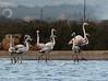 Phoenicopterus ruber, (NL: Flamingo), Salobrar de Campo (MA6040)