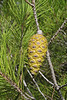 Pineappel of Pinus brutia ssp. halepensis, Parque Natural Mondragó