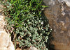 Micromeria filiformis, Prat de Cúber 650m - GR 221 - Masanella 1365m