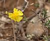 Fumana thymnifolia, Song Gual, ca 100m