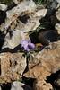 Viola arborescens, Puig de Galatzo 1026m