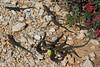 Podarcis lilfordi ssp gigliolii (endemic ssp of Sa Dragonera Island)near Cap Llebeitx, Parc Naturel de sa Dragonera