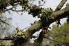 Ramalina fastigiata (NL: Trompettakmos), Parque Natural Mondragó