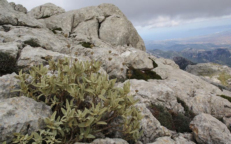 Phlomis italica, endemic to the Balearic Islands, Masanella 1365m