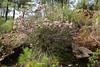 Erica multiflora, Recreation Area Memut 2, 500m E of Memut Binifaldo