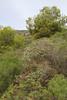 Pistachia lentiscus and Euphorbia dendroides, Island, Parc Naturel de sa Dragonera, Liedó-des Liebeig