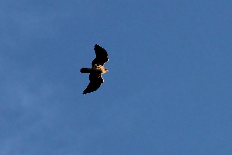 Hieraaetus pennatus - Booted Eagle, (NL:Dwergarend) (Between Col del Reis and Cala de sa Calobra)