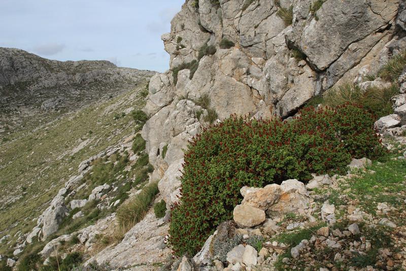 Hypericum balearicum, Masanella 1365m