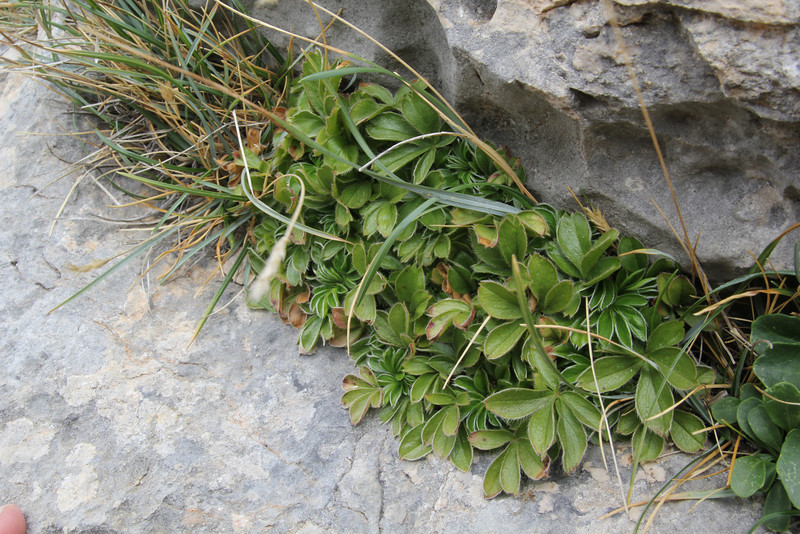 Potentilla caulescens, Masanella 1365m