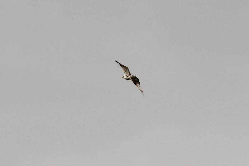 Pandion haliaetus, (NL: Visarend), Salobrar de Campo (MA6040)