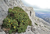 Hypericum balearicum, Masanella plateau 1365m