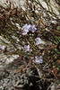 Limonium dragonerium, endemic, near Cap Llebeitx, Island, Parc Naturel de sa Dragonera