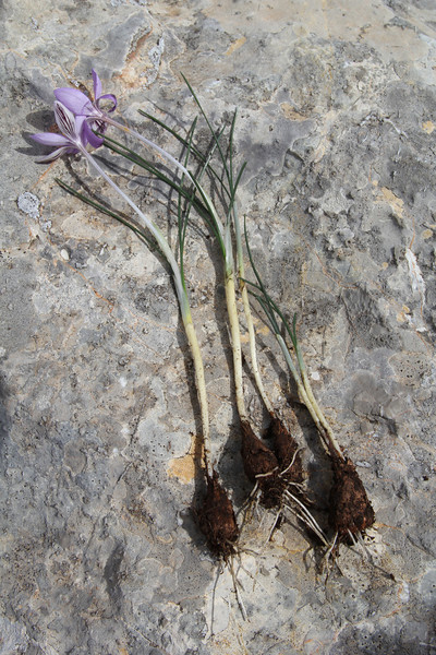 Corm of Crocus cambessedesii, (only for determination purpose) Masanella 1365m